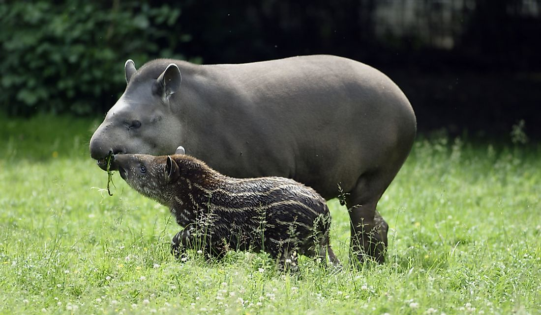 The Brazilian tapir is facing habitat loss from rapid deforestation.
