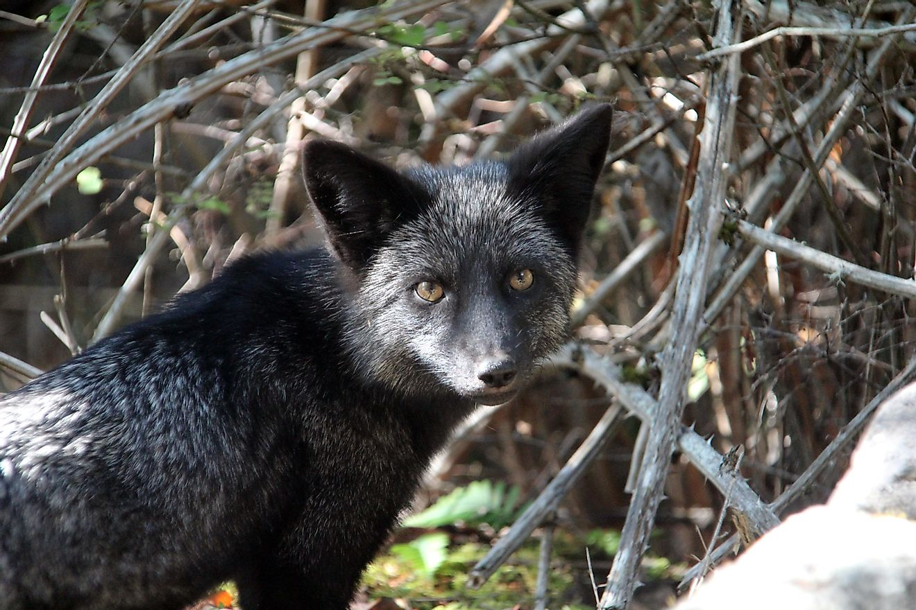 Despite their differences in name, Silver Foxes are simply Red Foxes with different color schemes to their coats.