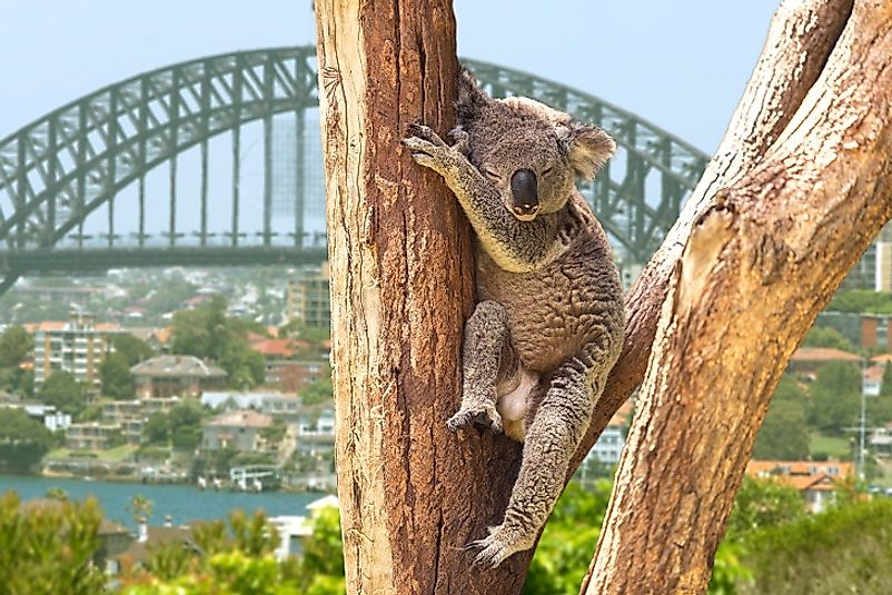 A Koala hanging out in some suburban woodlands on the outskirts of the city of Sydney.