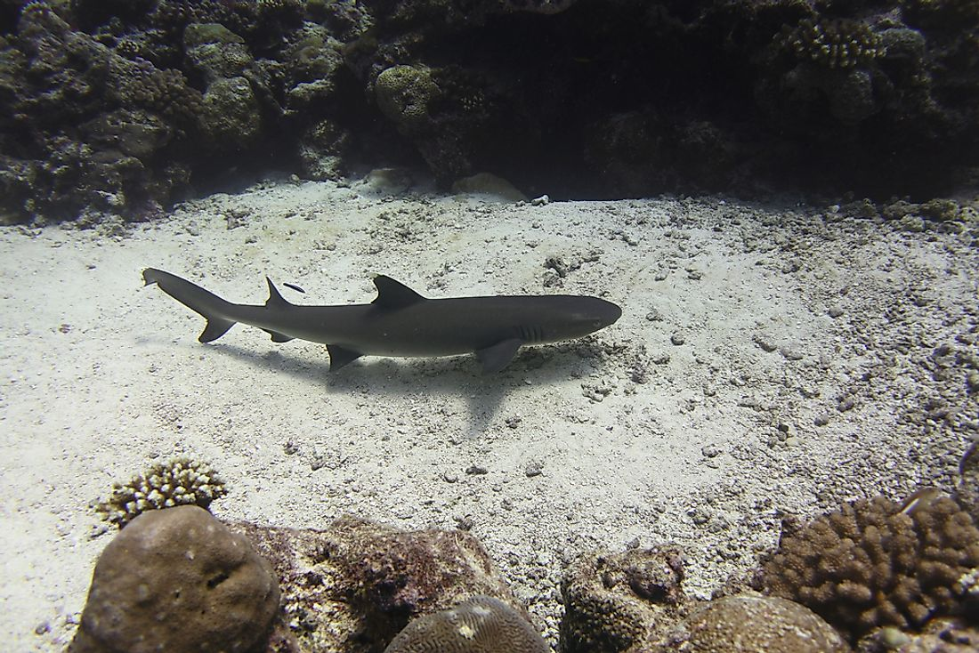 A Whitetip reef shark, considered a Near Threatened species by the IUCN, off the coast of Palau, the world's first shark sanctuary. Photo credit: shutterstock.com.
