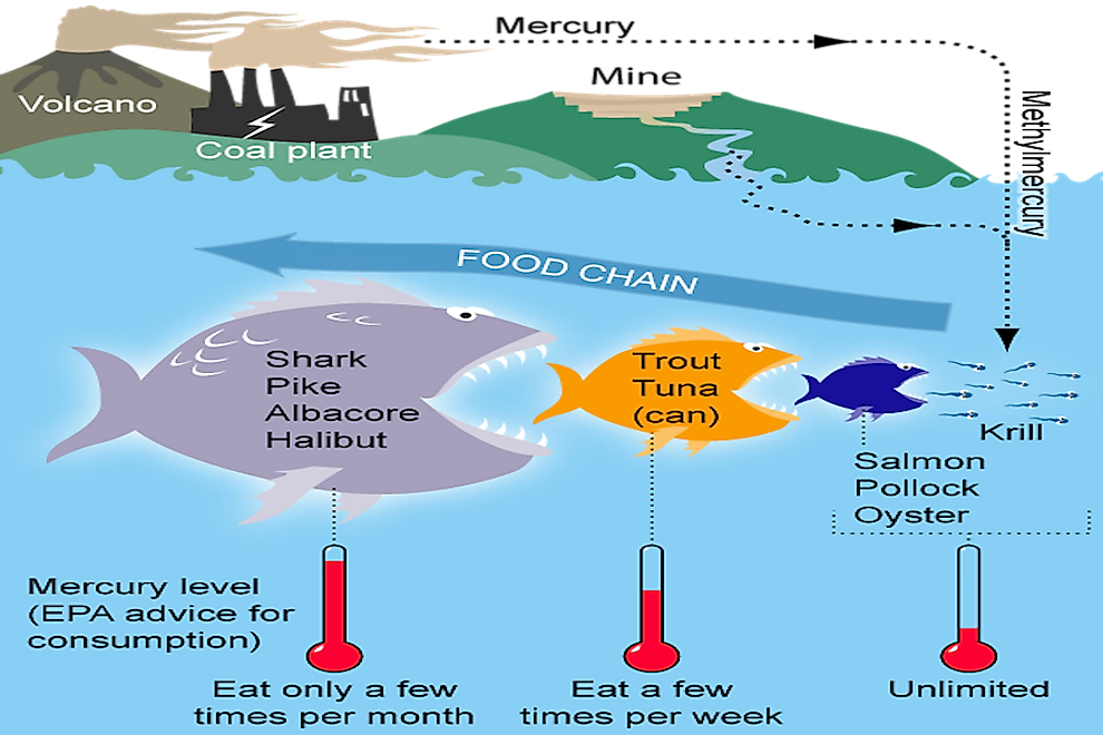 A diagram displaying the biomagnification process of mercury.