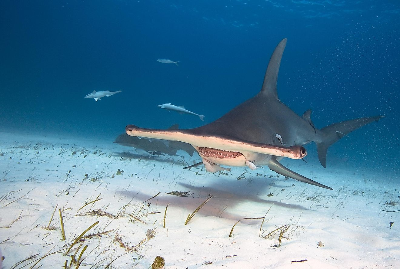 Hammerhead sharks hunt prey on the ocean floor.