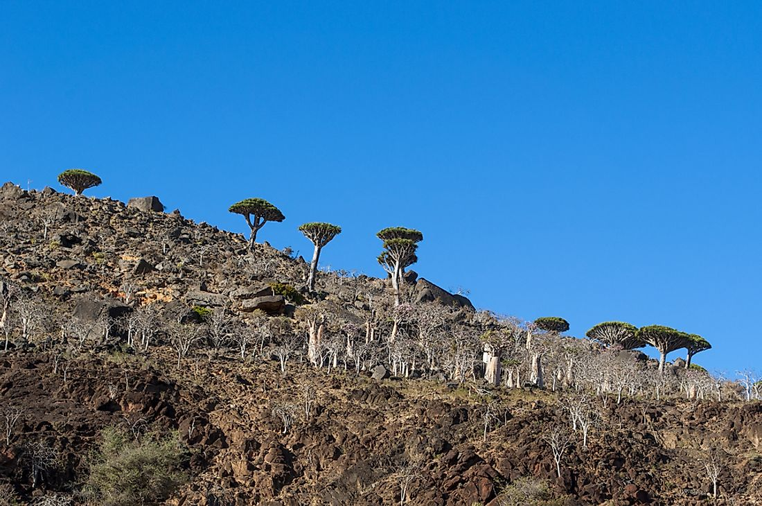 The Dragon's Blood tree and Cucumber tree are some of Socotra's interesting species. Editorial credit: Naeblys / Shutterstock.com