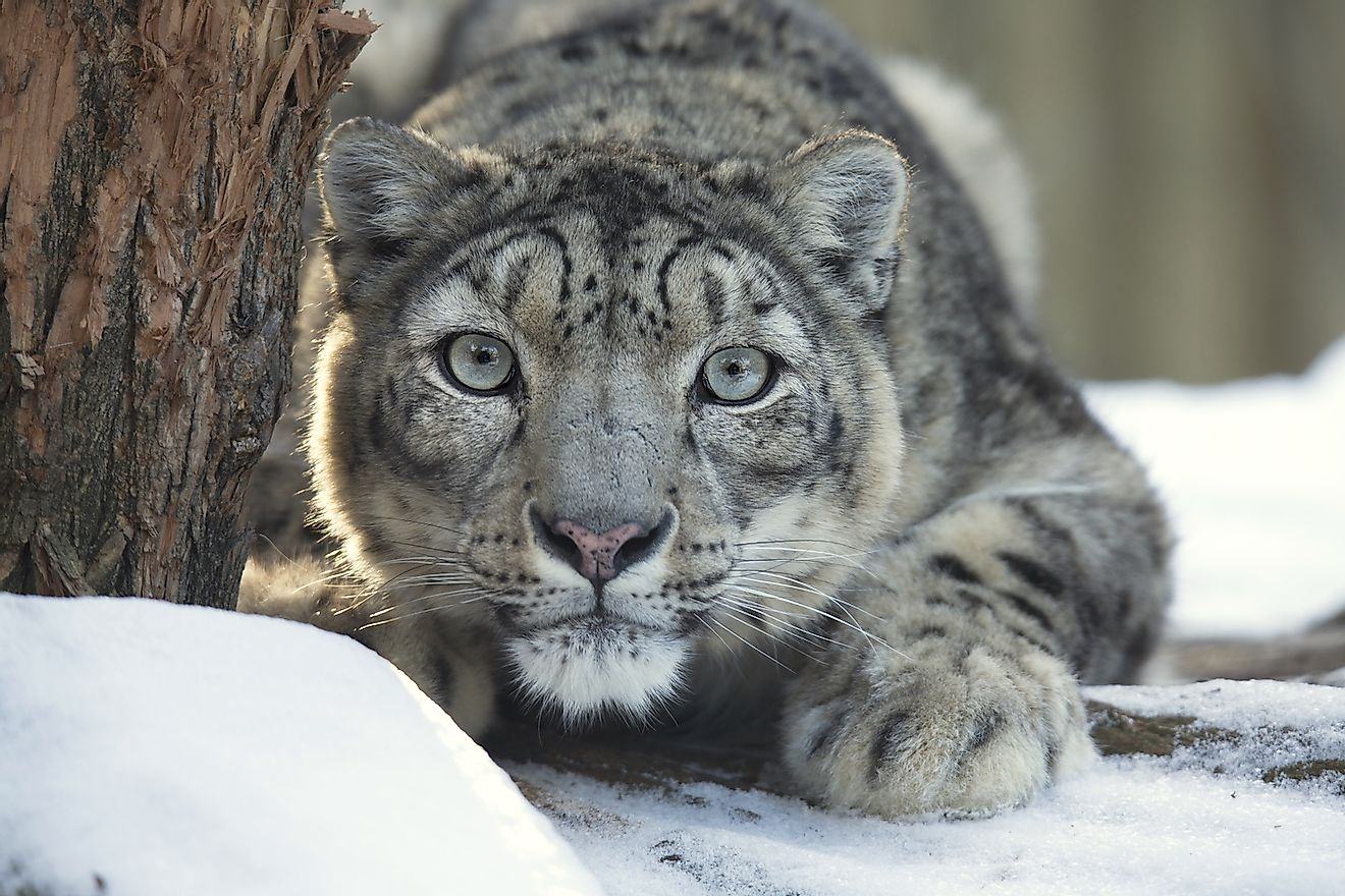 The majestic snow leopard is an apex predator in the Gobi Desert ecosystem. Image credit: Vladislav T. Jirousek/Shutterstock.com