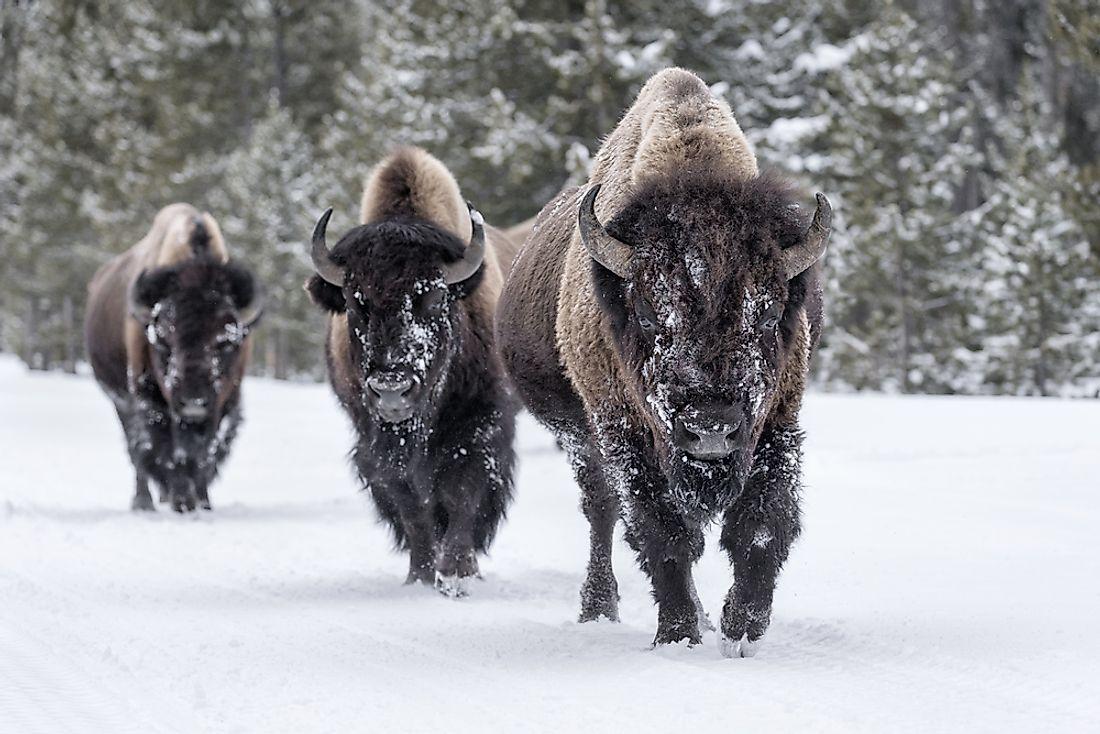 Vs american buffalo bison african Bison vs