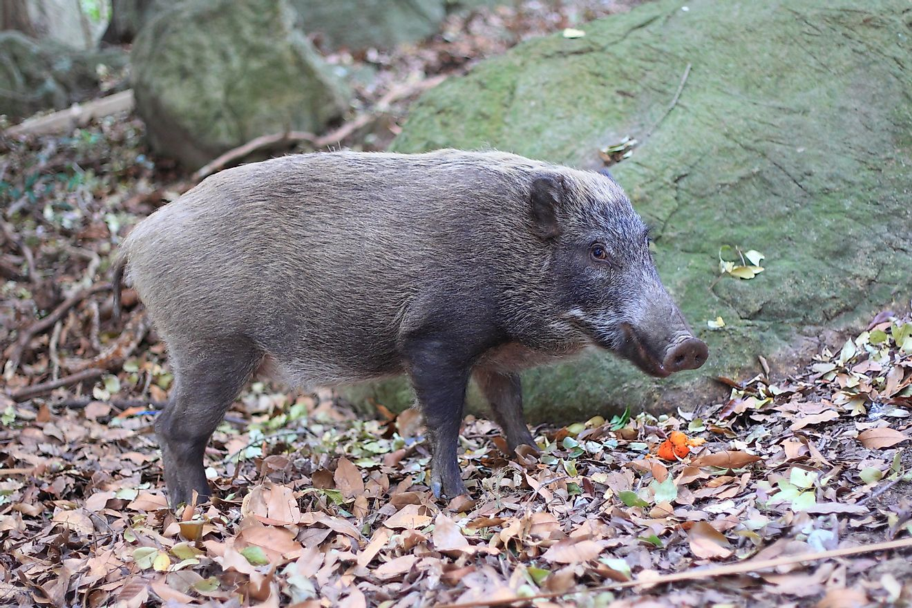 Japanese wild boar (Sus scrofa) in Japan. Image credit: Feathercollector/Shutterstock.com