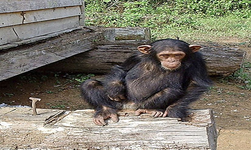 This chimpanzee was brought to a rescue center after his mother was killed by poachers.