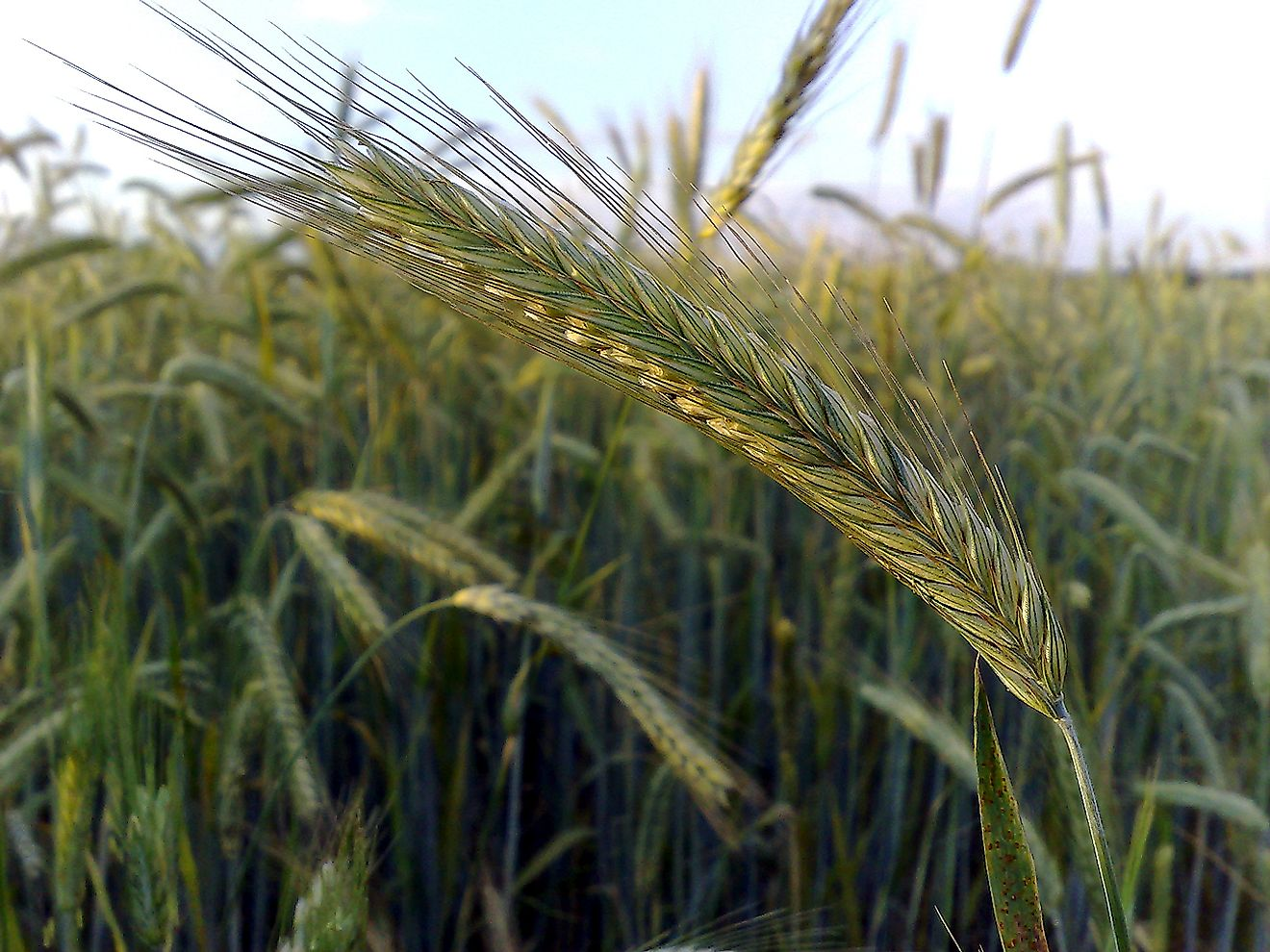 An ear of rye in a crop field.