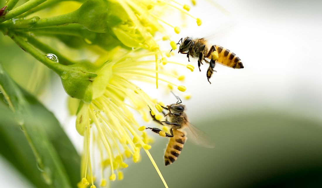 Two honey bees collecting pollen.