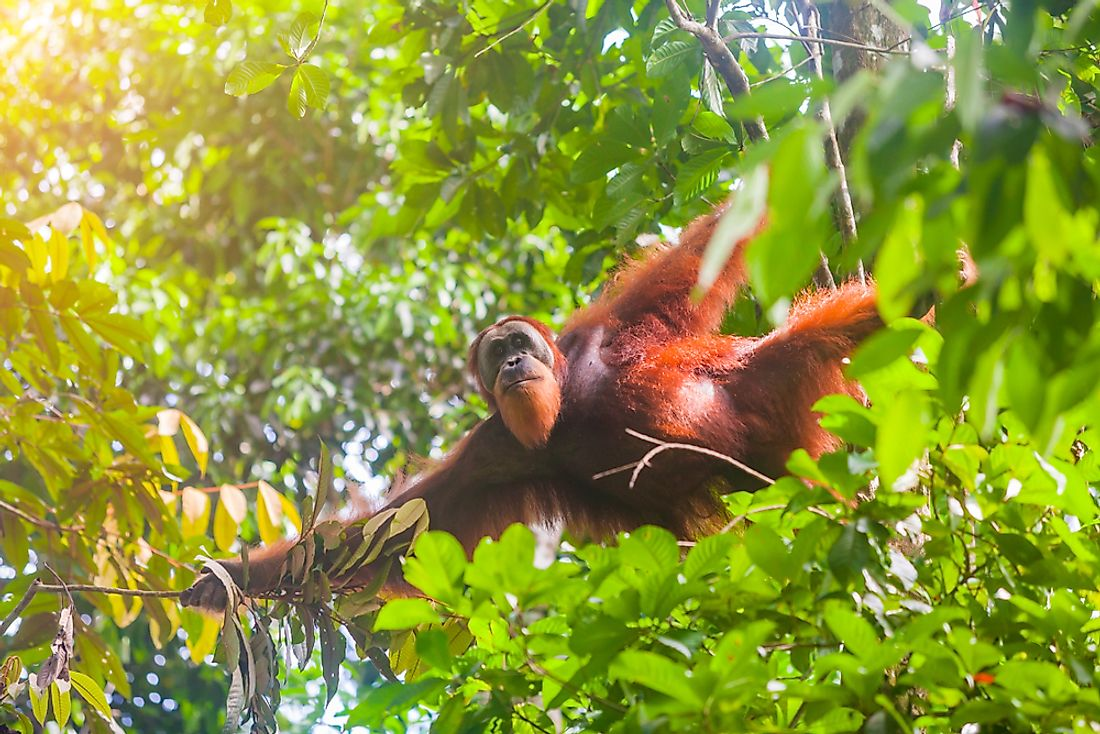 The Sumatran Orangutan has been severely effected by habitat loss.