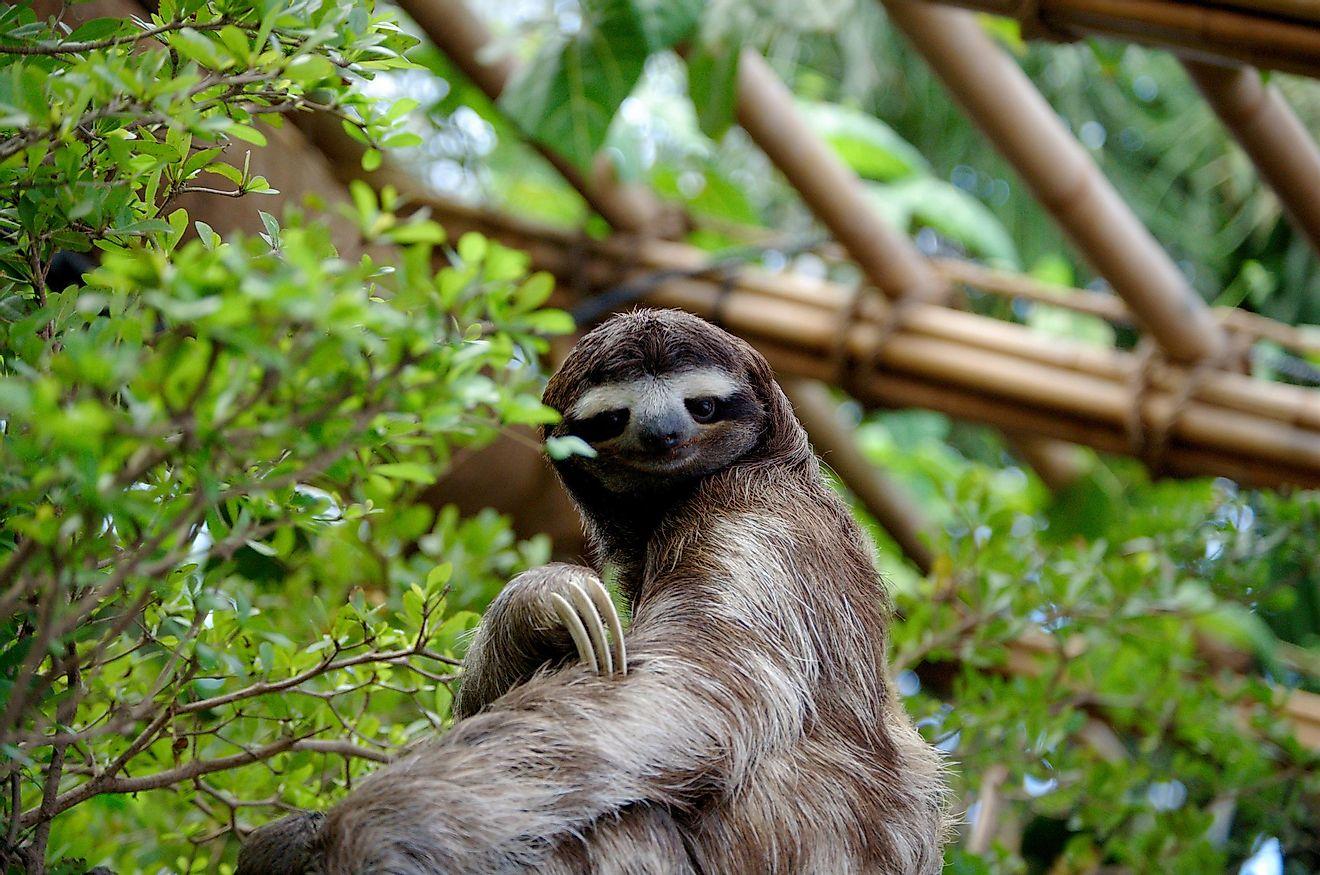 A sloth hugging onto a tree branch.