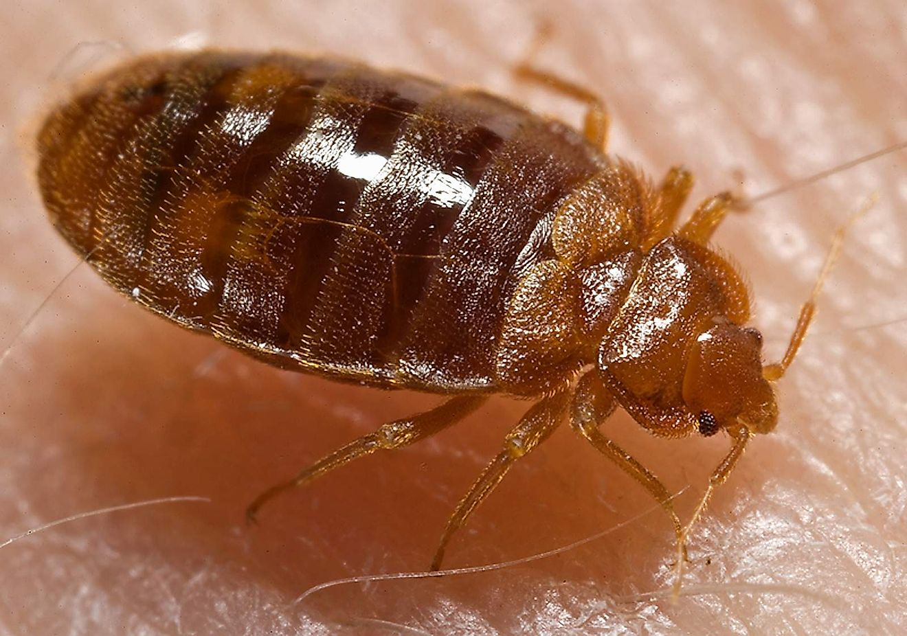 An adult bed bug (Cimex lectularius) with the typical flattened oval shape