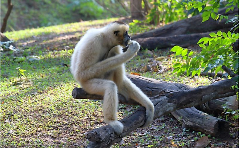 A female black crested gibbon or Nomascus noncolor.