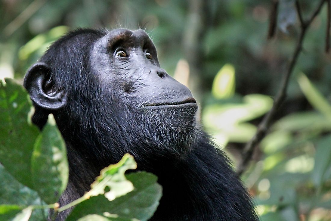 A chimpanzee in a national park in Guinea-Bissau.