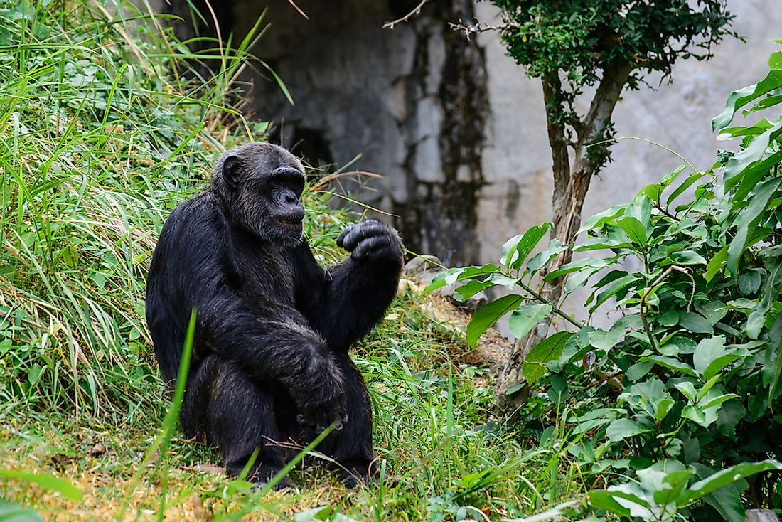 The Ebola virus is a major threat to the well-being of the Western gorilla, pictured here.