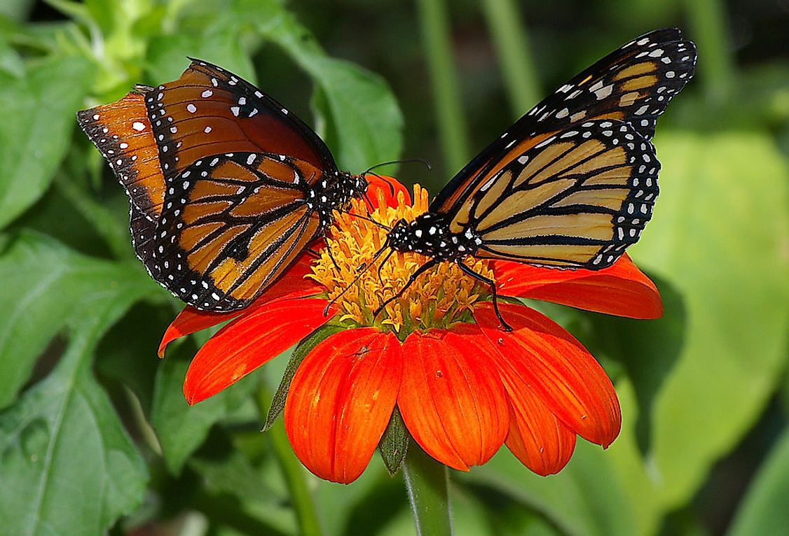 Butterflies are well-known for their colorful and patterned wings, but some are also famous for their large size.