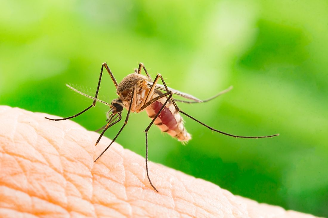 Mosquito species transmit a number of deadly diseases to humans.