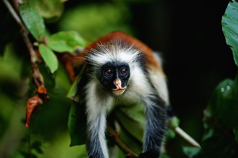 A Zanzibar red colobus monkey in the forests of Jozani Chwaka Bay National Park.