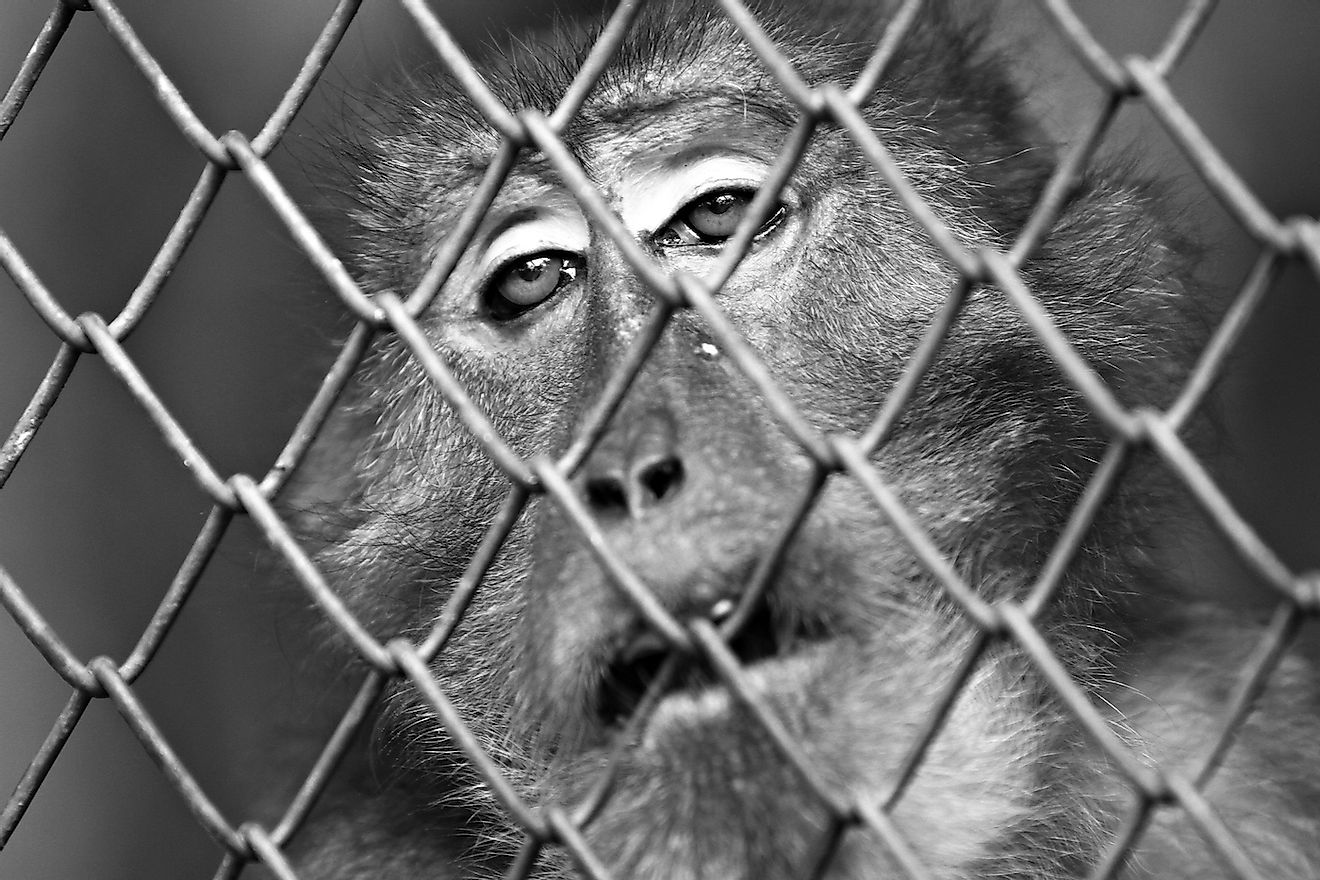 Trapped in a cage for a lifetime, the monkey's eyes says it all. Image credit: Kosin Sukhum/Shutterstock.com