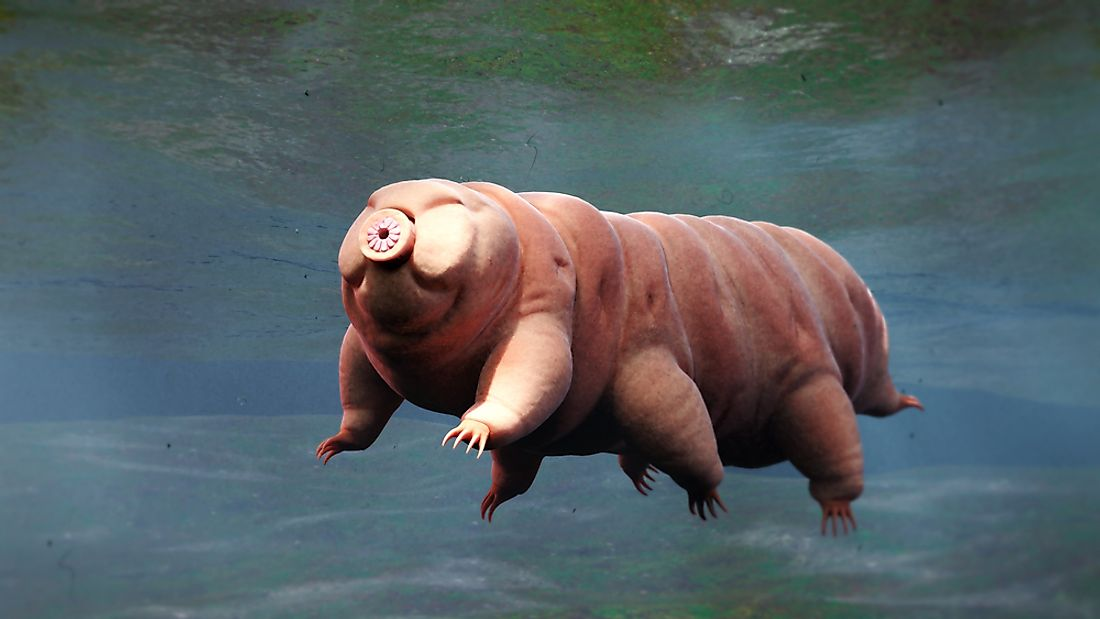 Water bears are tiny invertebrates just one millimeter in size but are known for being one of the world's most resilient animals.