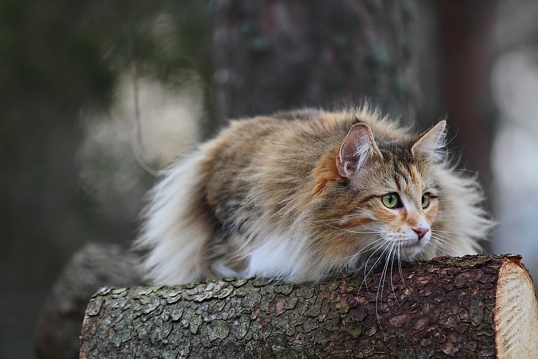 A Norwegian forest cat outdoors.