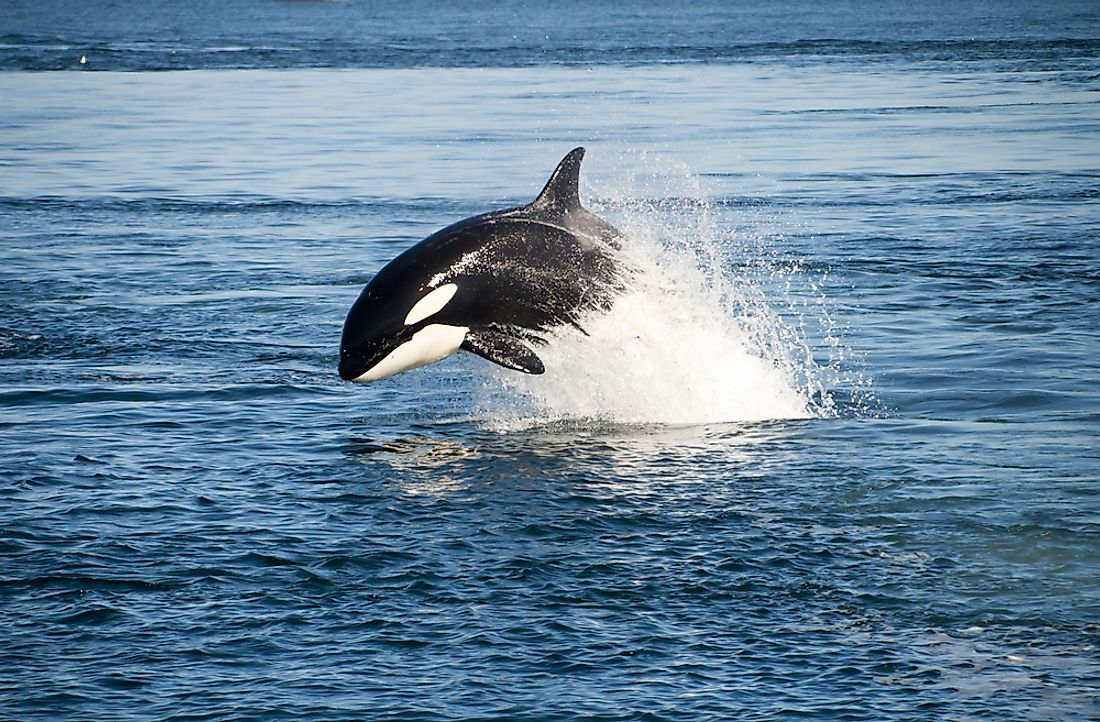 The killer whale, also known as the orca, can be found in the Atlantic OCean.