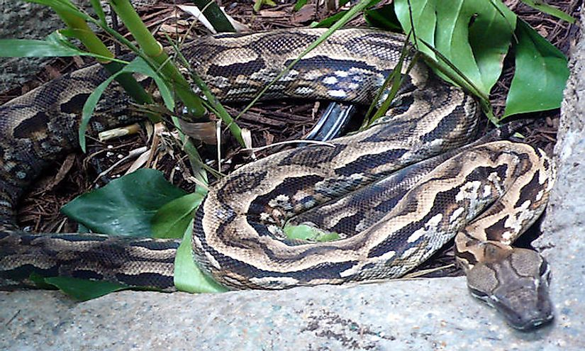 Malagasy Ground Boa is a species of snake endemic to the Island of Madagascar.