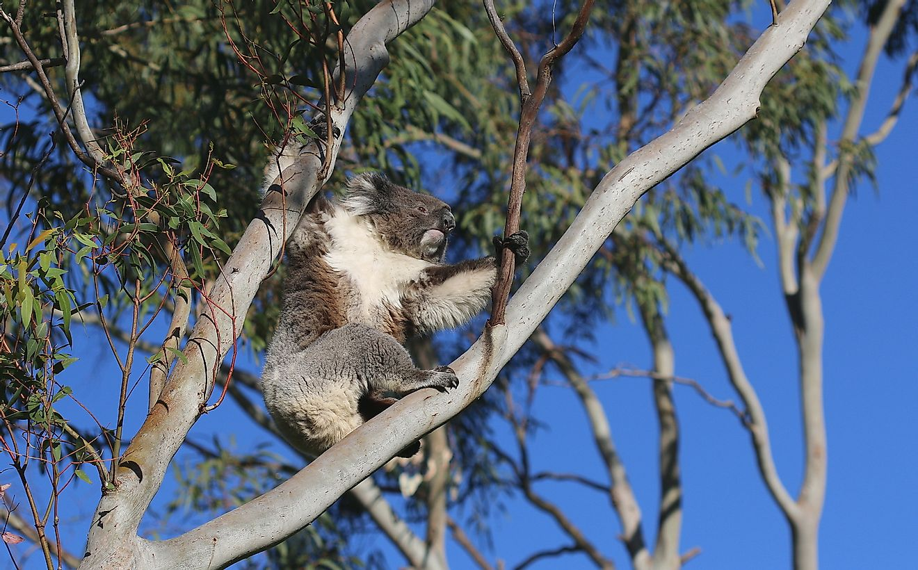 Drop bears have historically been described as koala-like.