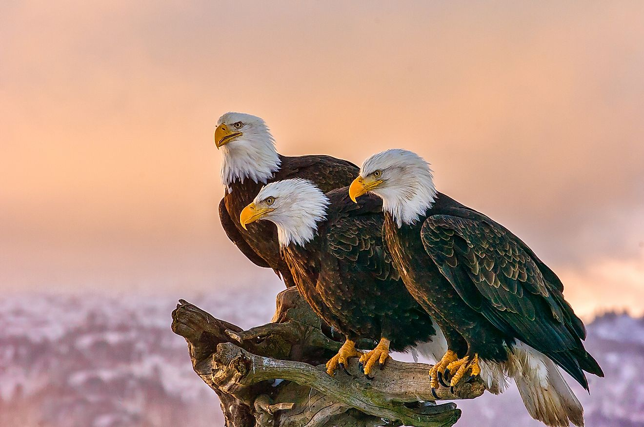 Three bald eagles perched on a rock. Image credit: FloridaStock/Shutterstock.com