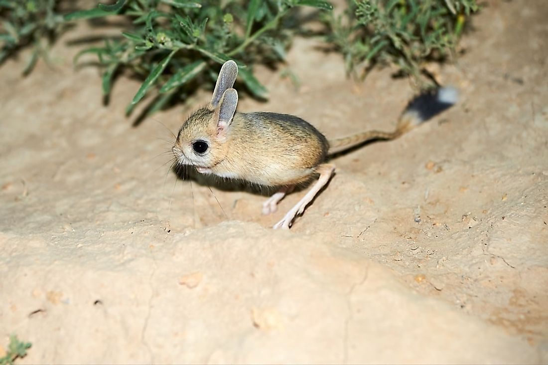 Although it may be small, the long-eared jerboa has the longest tall of any mammal.