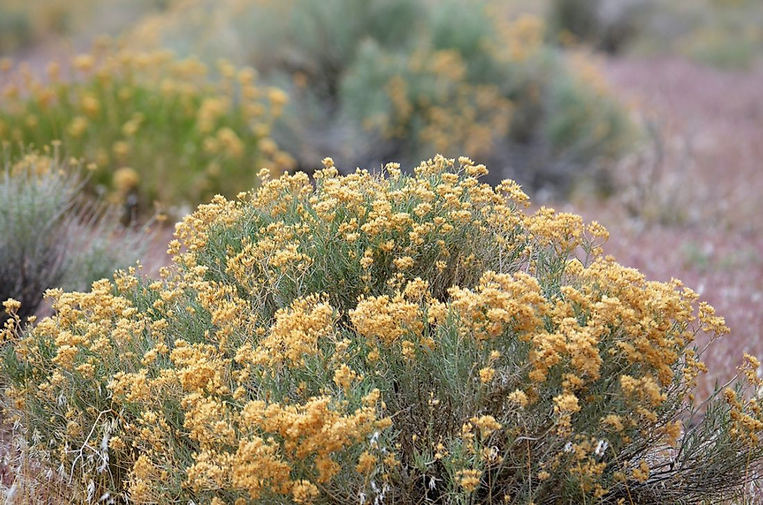 The sagebrush plant in Nevada.