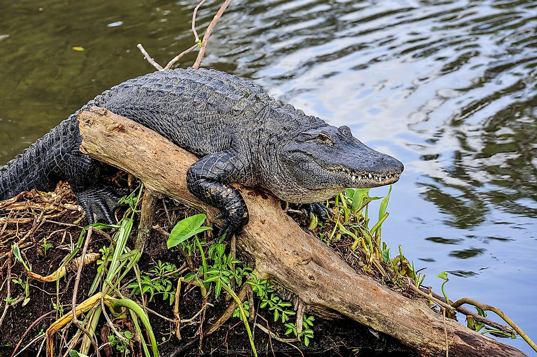 American alligators can grow to be 5 meters long and weigh 600 kilograms.