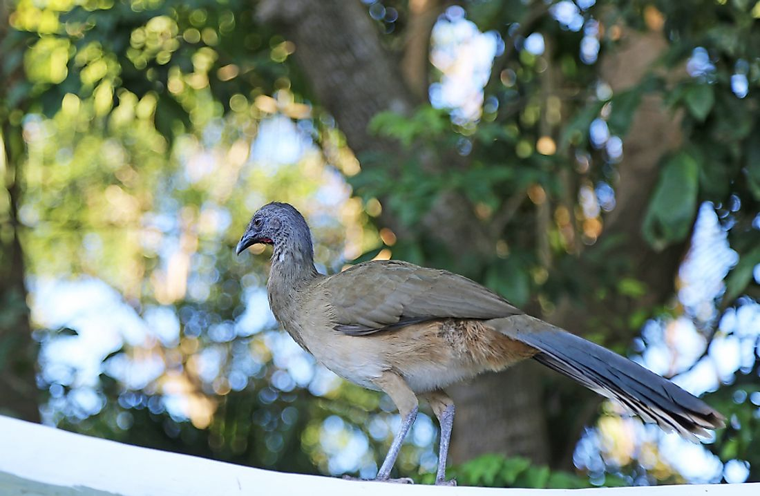 The West Mexican Chachalaca is endemic to Mexico's Pacific Coasts and neighboring parts of its interior west.