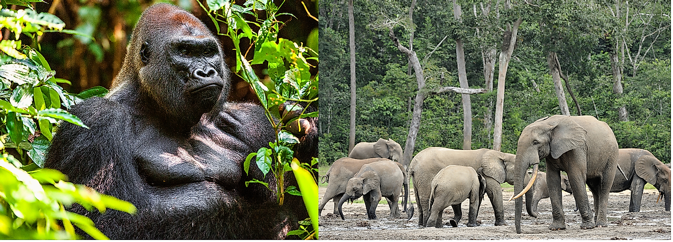 A Silverback Eastern gorilla in the Albertine Rift Montane Forest and elephants in the forest-savanna transition zone of the Central African Republic.