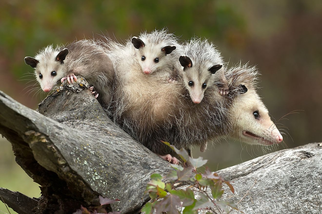Virginia opossum female with babies. The mother carries her babies on her back after they exit her pouch and teach them survival skills before they are finally ready to live on their own. Image credit: Agnieszka Bacal/Shutterstock.com