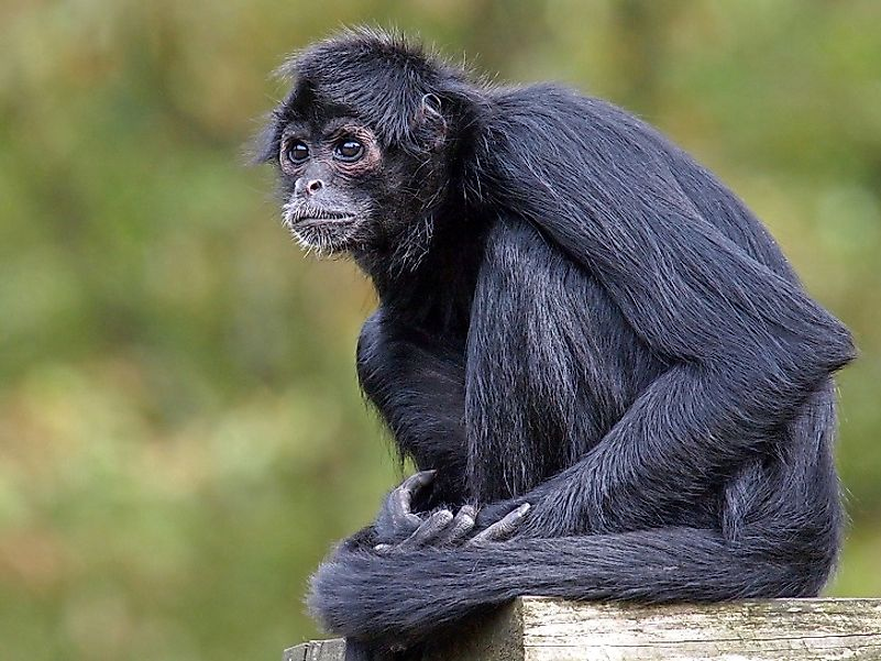The Critically Endangered Black-Headed Spider Monkey.