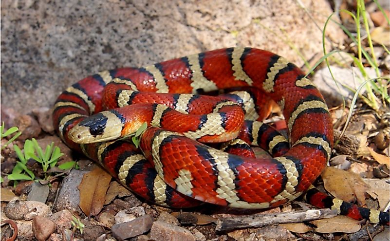 Non-venomous milk snakes appear brilliantly colored like venomous coral snakes that deter predators from approaching the former.