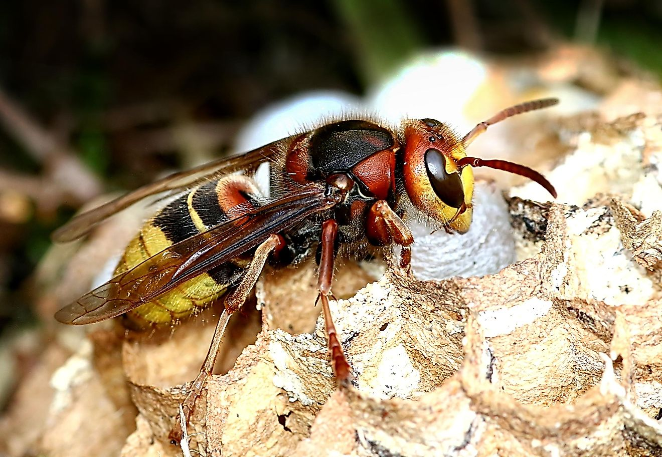 Also known as the Vespa crabro, it is the only true hornet species that can be found in the continent of North America.