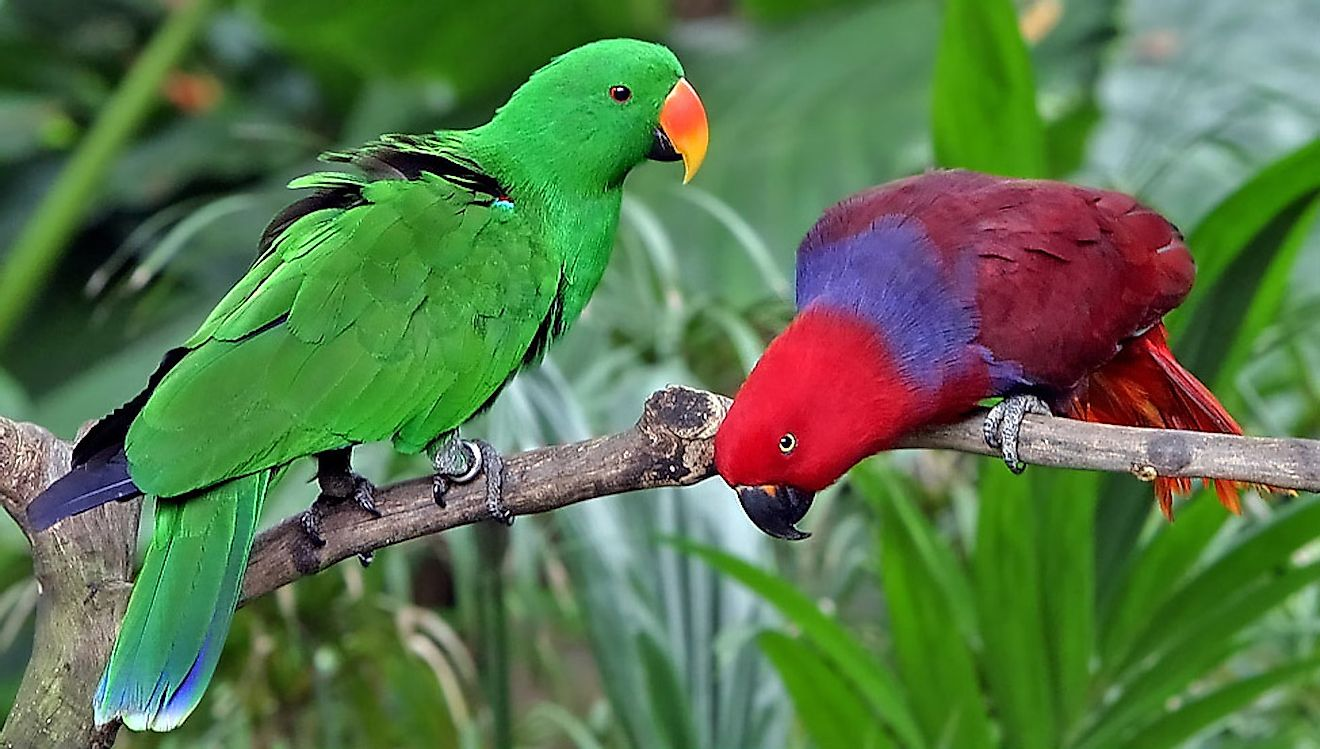 Eclectus parrots, male left and female right. Image credit: Doug Janson/Wikimedia.org