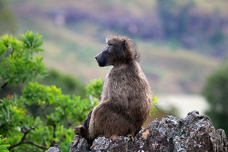A baboon sits upon a rock in the Drakensberg alti-montane grasslands and woodlands.
