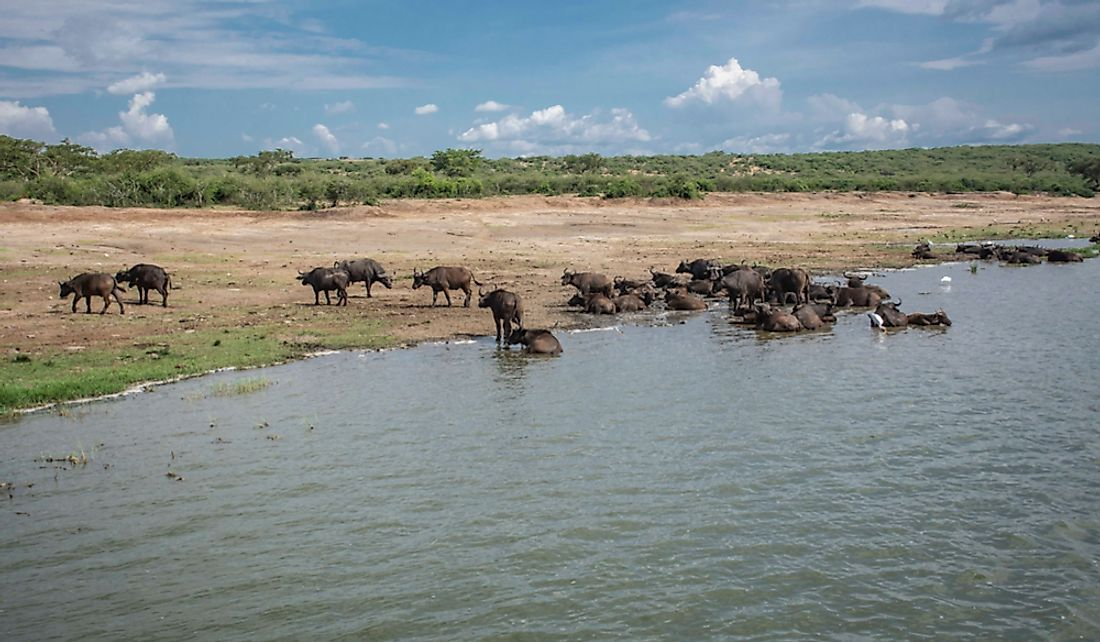 Lake Edward sees much wildlife including African buffaloes.