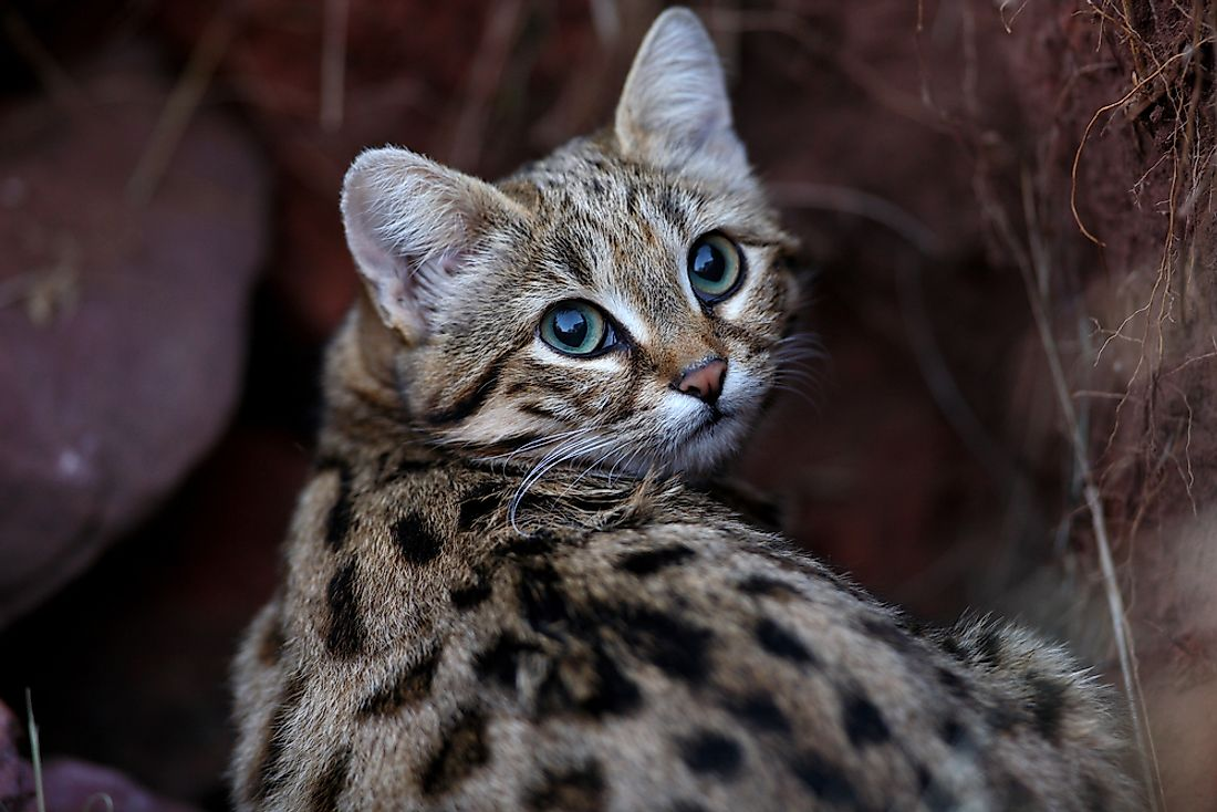The Black-footed cat (Felis nigripes) is one of the world's smallest felines.