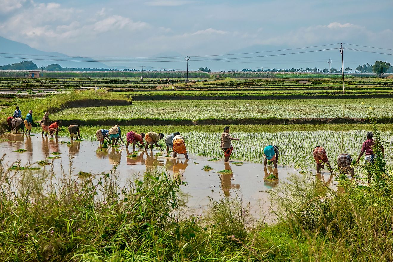 Farm laborers planting rice in paddies in rural Tamil Nadu. Image credit: CherylRamalho/Shutterstock.com