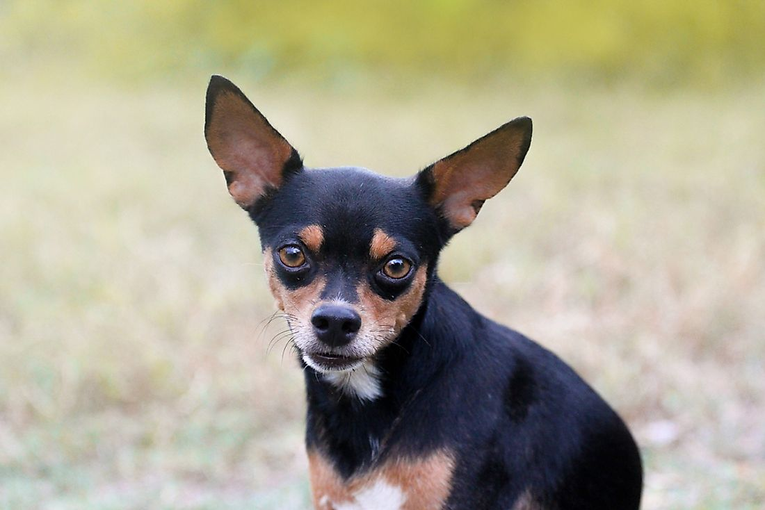 Chihuahuas are among the type of dog breeds who average the longest lifespan.