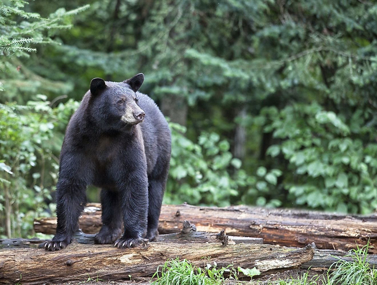 The short tails, ability to run on all fours and stand up, and omnivorous diets of the American Black Bear have often been likened to the abilities of humans.