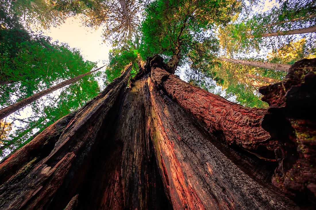 The tallest tree is a coastal redwood found in the Redwood National Park in California.