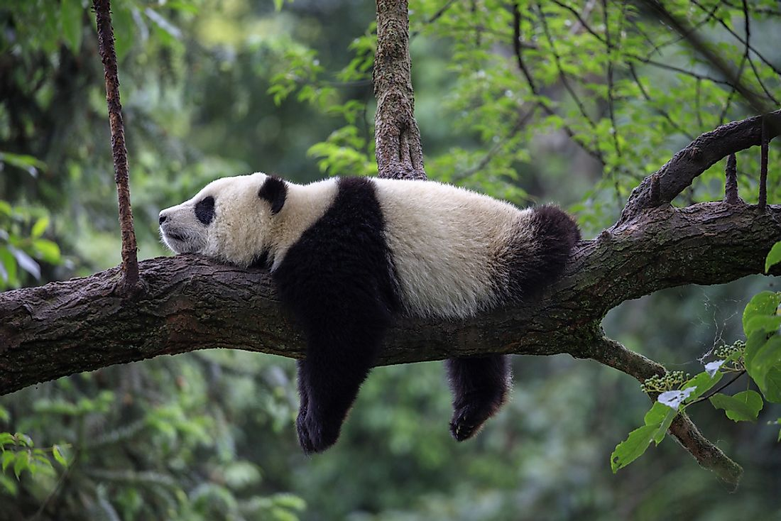 Pandas live in very small sections of the bamboo forests of China.