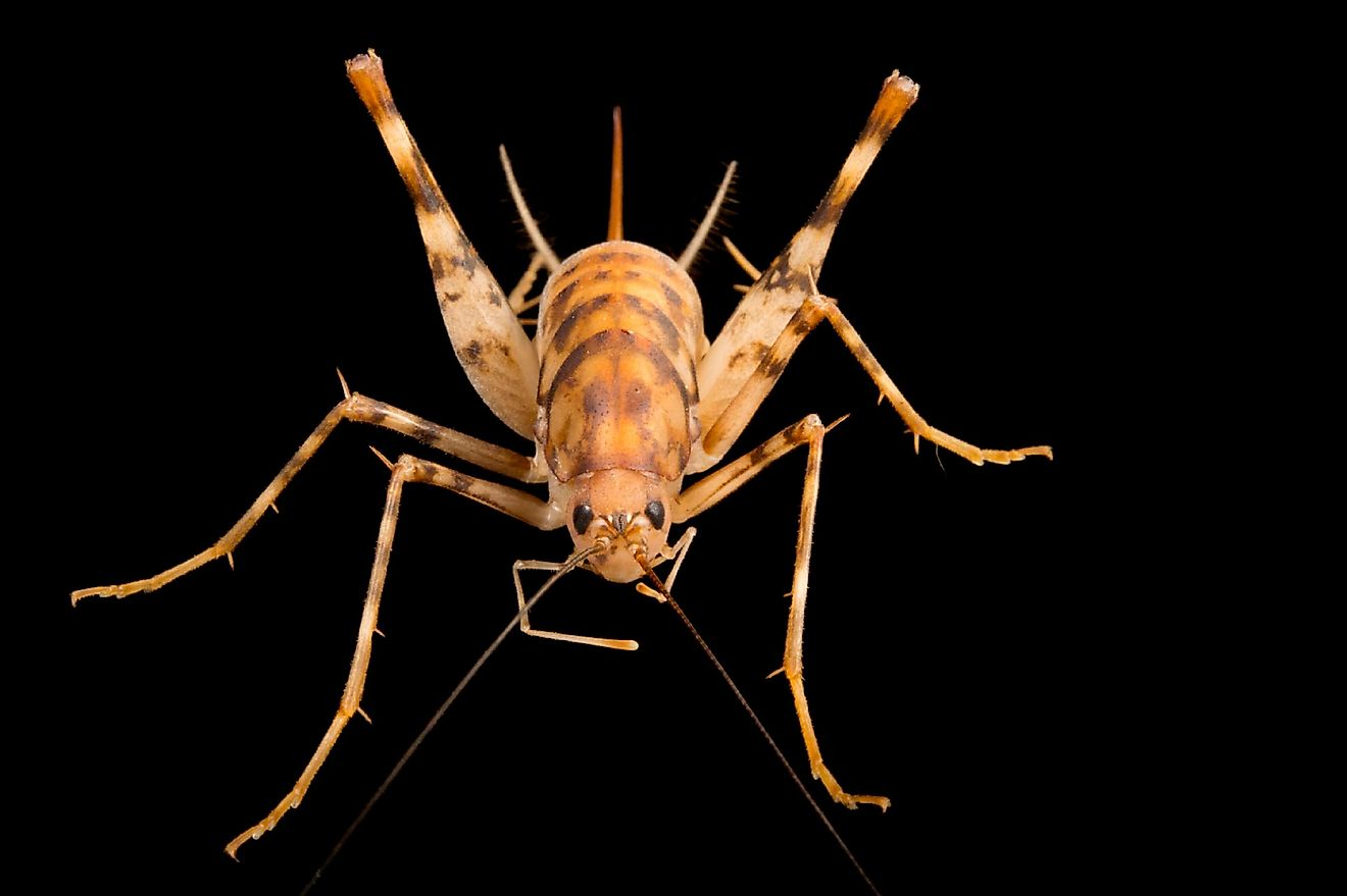 If you are afraid of insects, cave crickets could very well give you the scare of a lifetime.