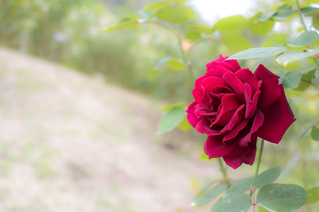 The state flower of Oklahoma: the Oklahoma rose.