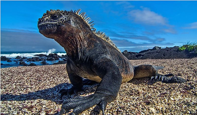 The marine iguana, found on the Galapagos Islands, has an incredibly unique appearance.